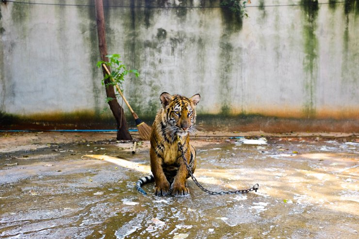 Tiger chained up in water